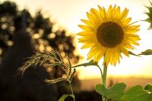 sunflower-1127174_1920